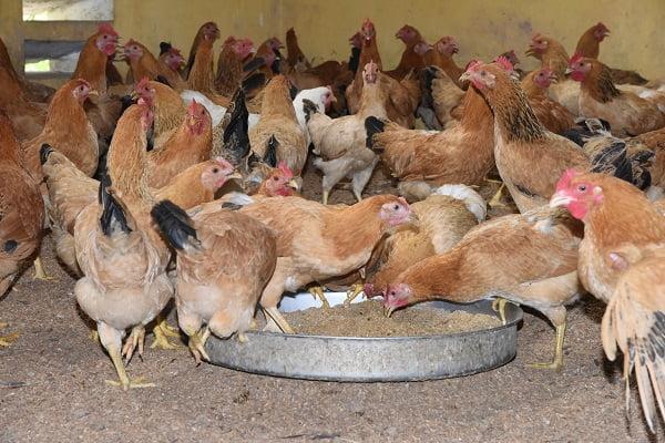Giảm stress nhiệt cho gà thịt mùa nóng bằng Trytophan