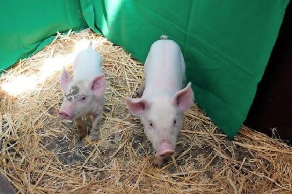 Lợn chuyển gen được thử nghiệm nhằm ngăn chặn sự nhân lên của virus ASF