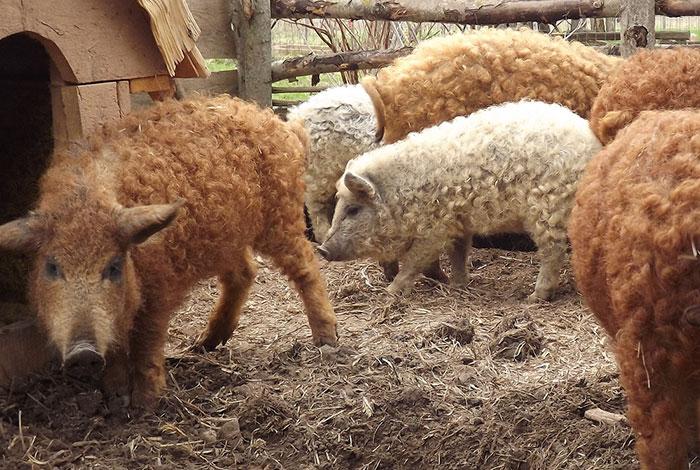 Giống lợn lông xù quý hiếm