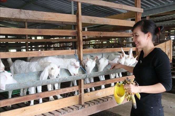 Dê thịt được giá, người chăn nuôi có lãi cao 
